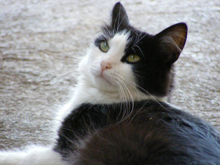 El carácter de los gatos