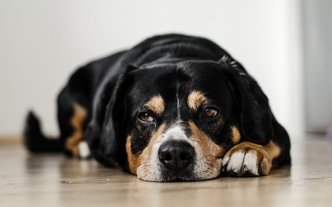 Síndrome de ansiedad por separación canina