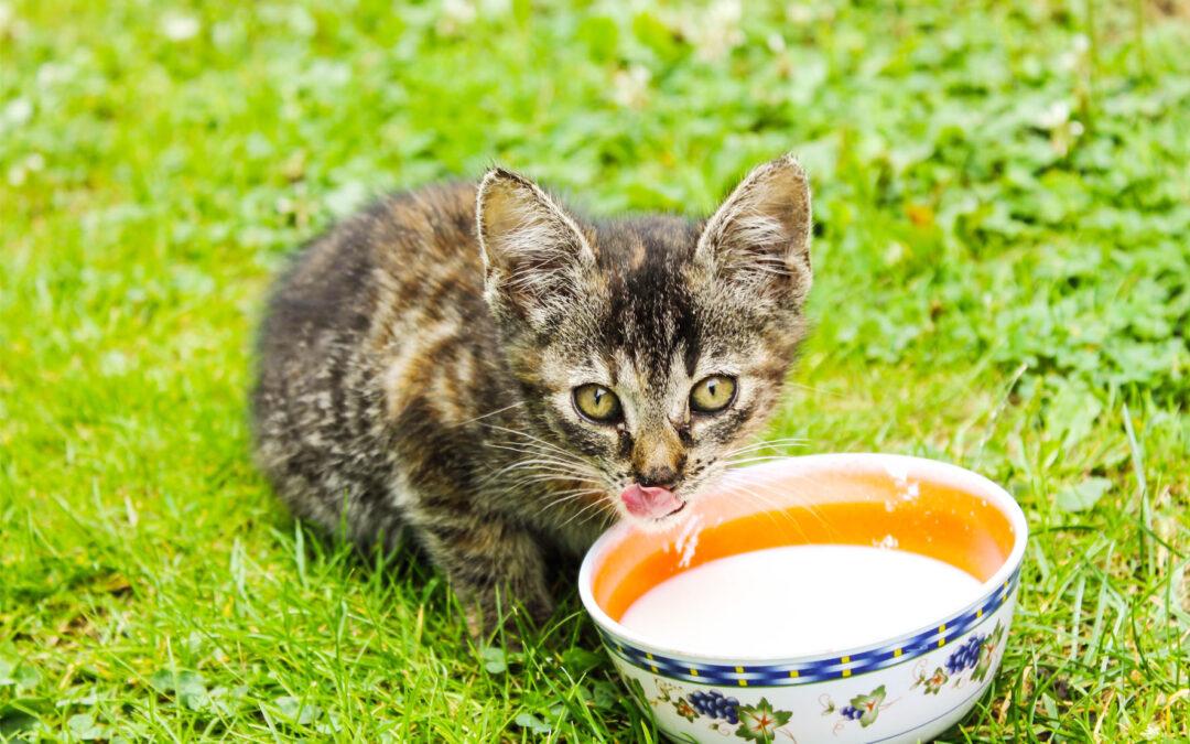 Alimentos tóxicos para los gatos