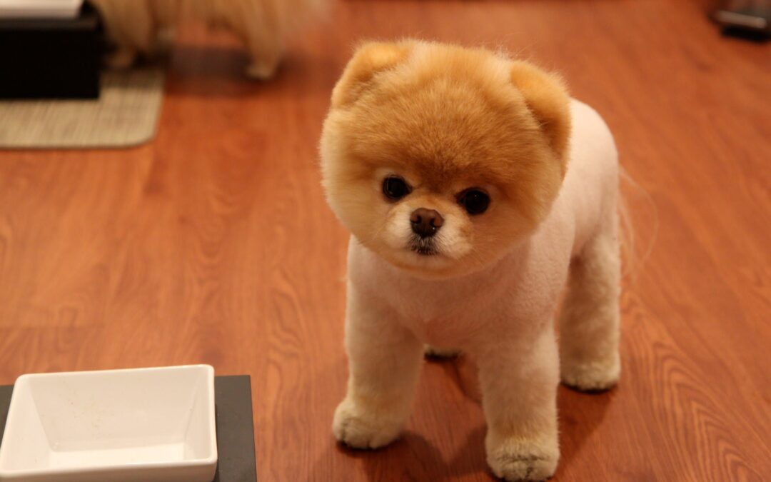 Boo, el perro viral