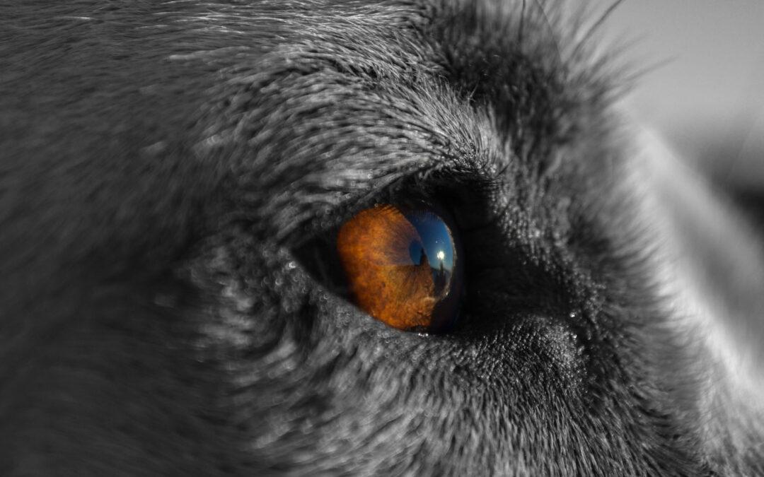 Limpiar los ojos del perro